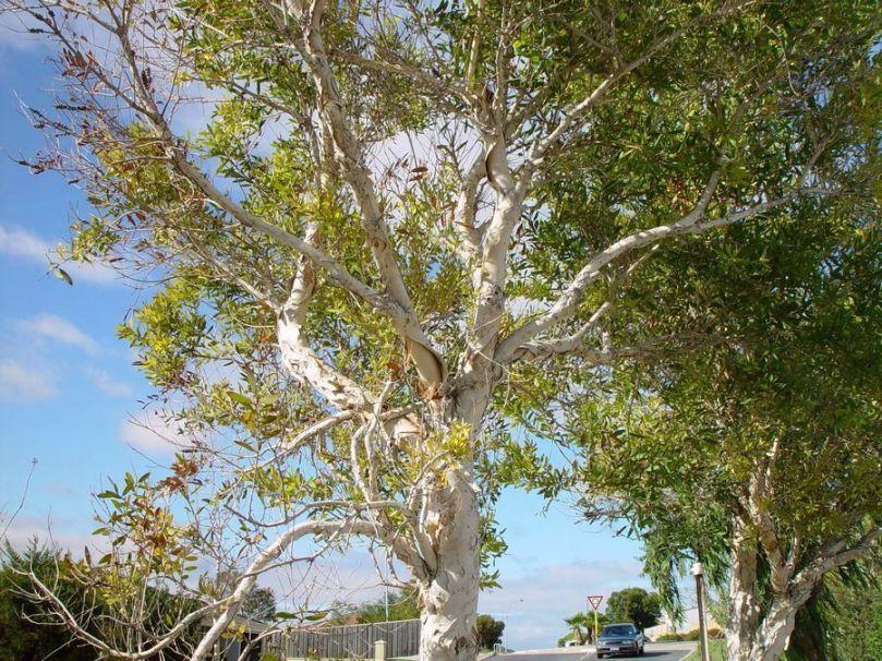 paperbark-tree